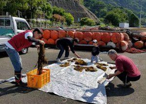海藻の日干し作業(写真:真嶋さん提供)